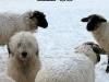 dog_sheep_085